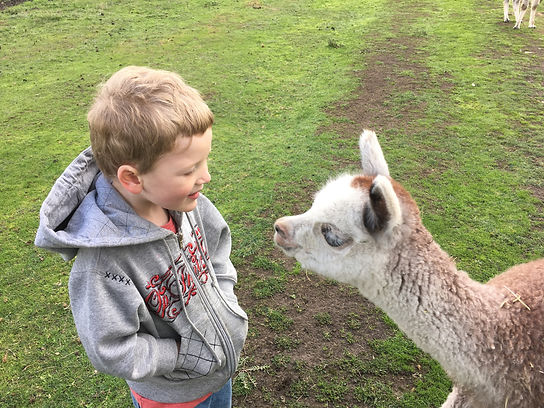 little boy visits cute alpaca baby cria