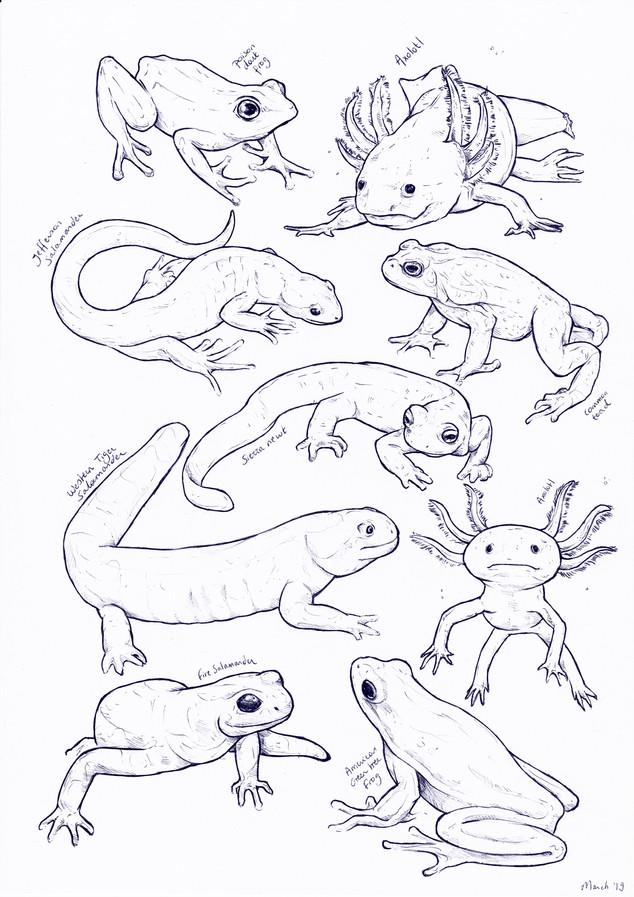 Amphibians sketches