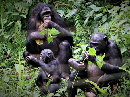 'How Bonobos Help Explain The Evolution of Nice' on NPR