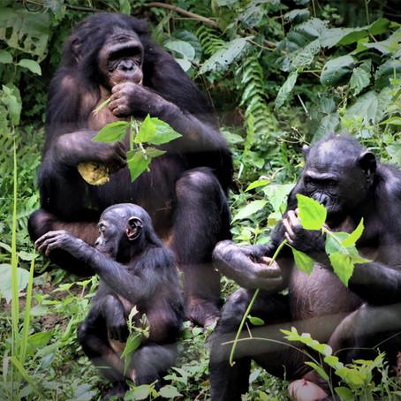 'How Bonobos Help Explain The Evolution of Nice' on NPR