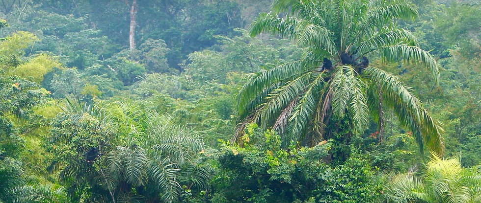 bonobos-in-trees-at-ekolo-ya-bonobo-resc