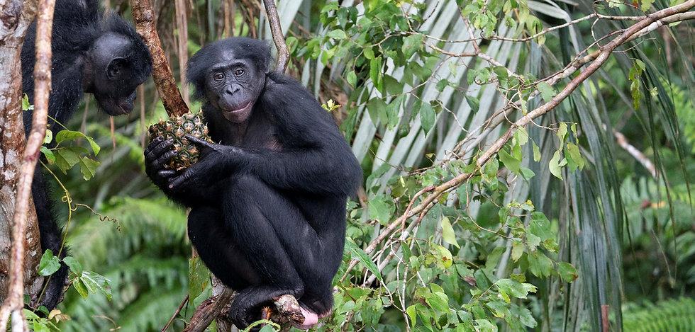 Bonobo eating pineapple in a tree by Acrus_ Jabruson