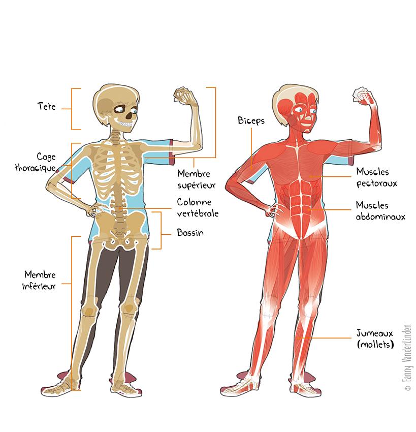 Le squelette et la musculature