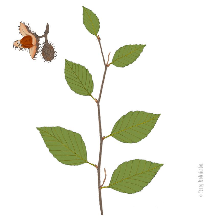 Branche et fruits de l'hetre