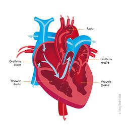 Circulation du flux sanguin