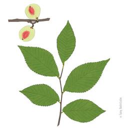 Branche et fruits de l'orme