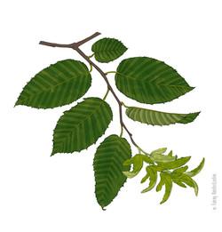 Branche et fruits du charme