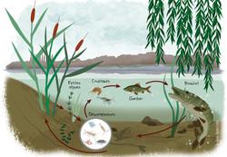 Le réseau trophique d'eau douce