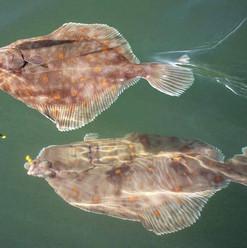 plaice-katfish-charters-lymington