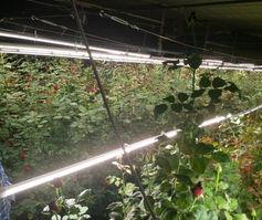 Ein HaBesor Rose Farm