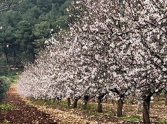 The almond tree blooms in the Galilee.jpg