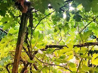 galilee tree.jpg