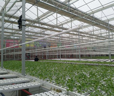 Growing lettuce in China