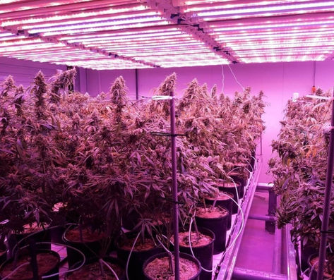Growing cannabis cannabis horn