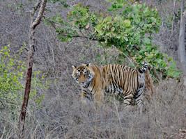 Ziua 11_Parcul Național Ranthambore.jpg