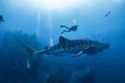 Ziua 14_Înot cu rechinul-balenă.jpg