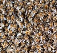 Bienenschwarm.jpeg