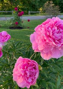 Flowers of Maine, everywhere!