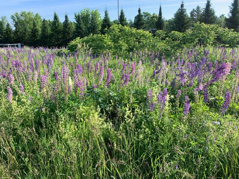Wild Lupines of Maine