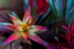 PiP's Bromeliad.jpg