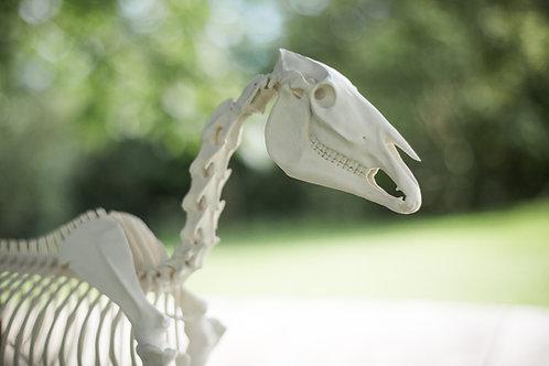 Pferdeskelett-Modell Mäxchen