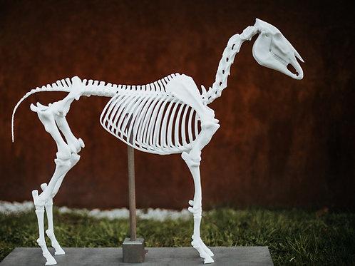 "Pferdeskelett Modell ""Maximus"" PLUS"