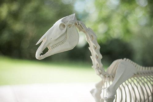 "Pferdeskelett Modell ""Mäxchen"""