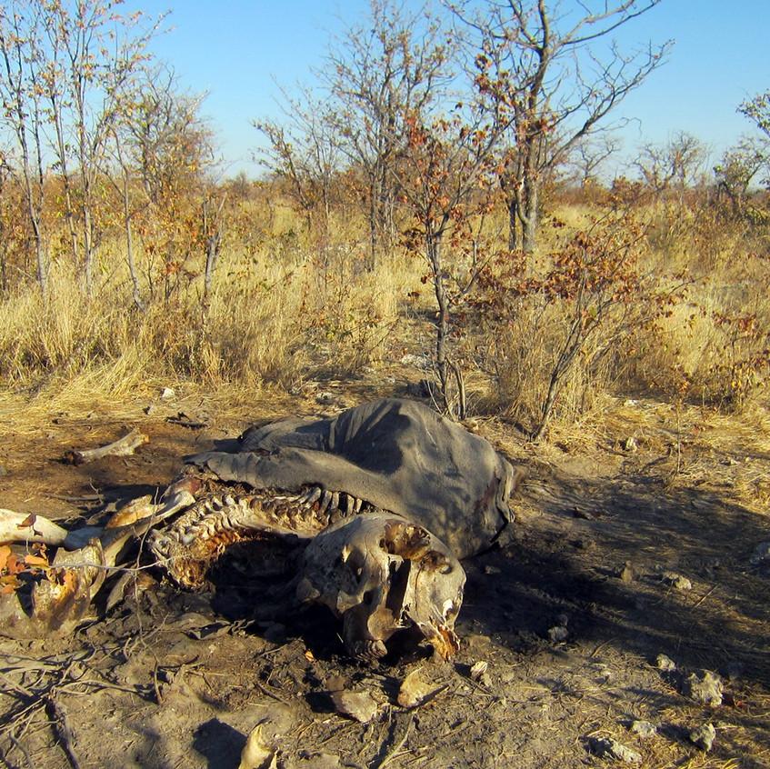 A fresh elephant carcass