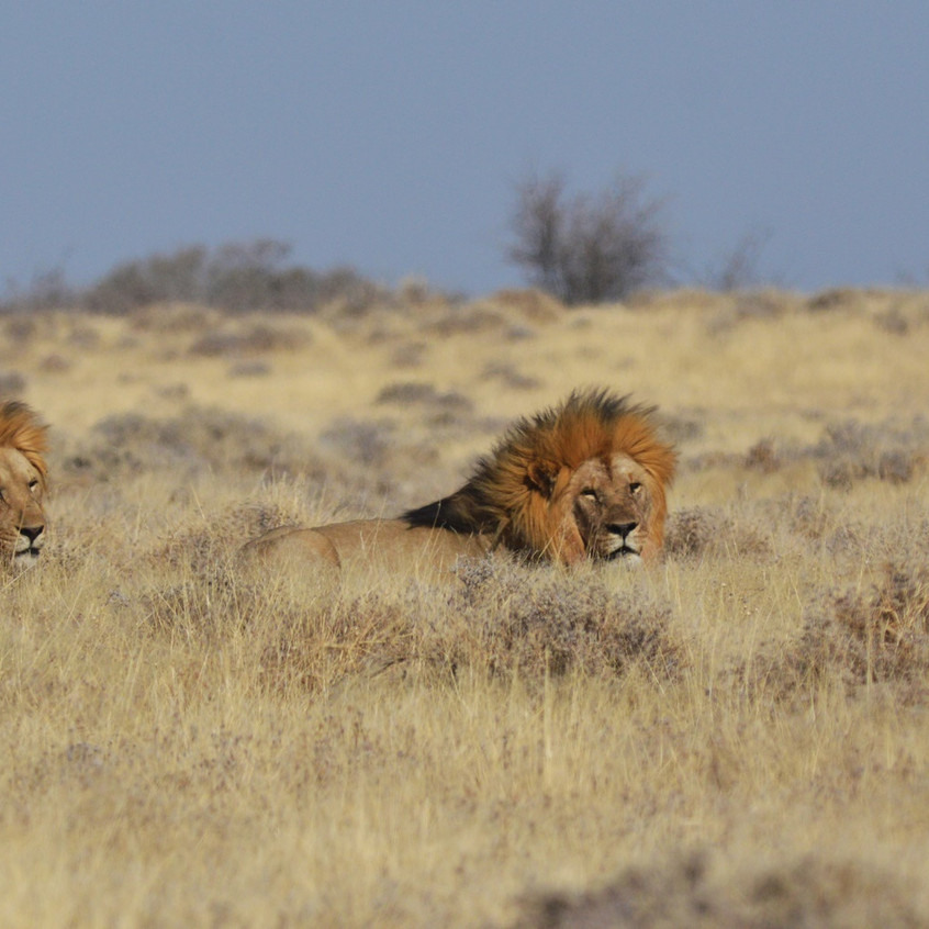 The most terrifying predators in Etosha—lions. Picture is for illustrative purposes, not the real event encountered