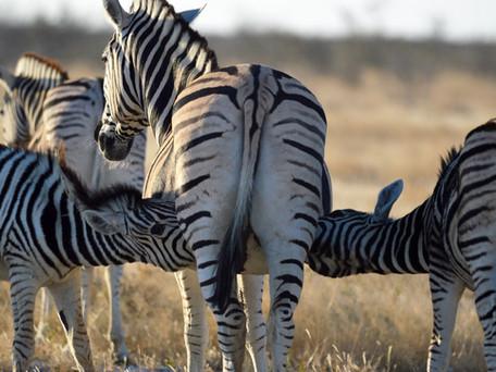 Zebra Twins!