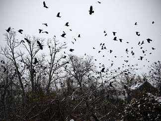Trapped by Crows
