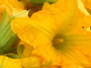 Fiori di zucchina gratinati
