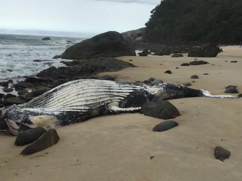 Baleia-jubarte é encontrada morta na praia de Maresias em São Sebastião