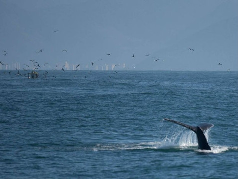 Fartura de peixes aumenta visita de baleias no litoral norte de SP