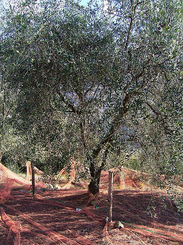 800px-Filet_Olive_de_Nice.jpg