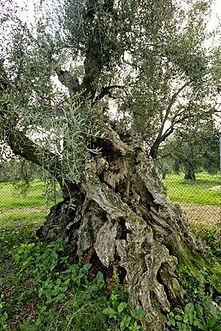 olivo della strega.jpg
