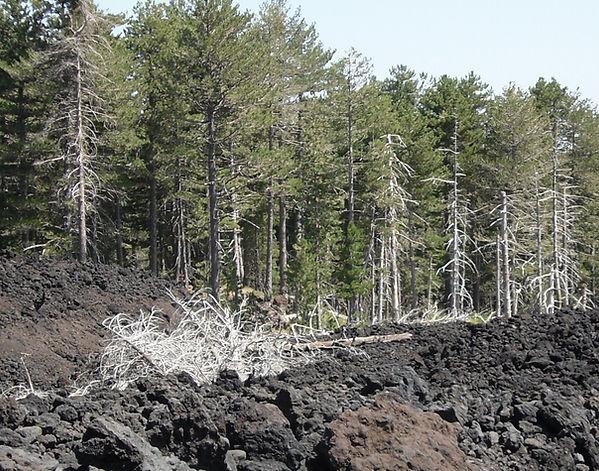 etna dead trees.JPG