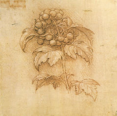 Leonardo_da_vinci,_mirtillo_palustre,_15