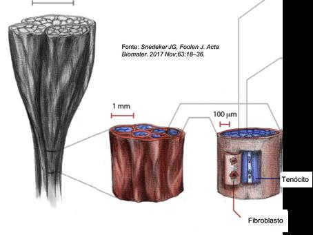 Tendinopatias: como ocorrem e como é o processo de regeneração