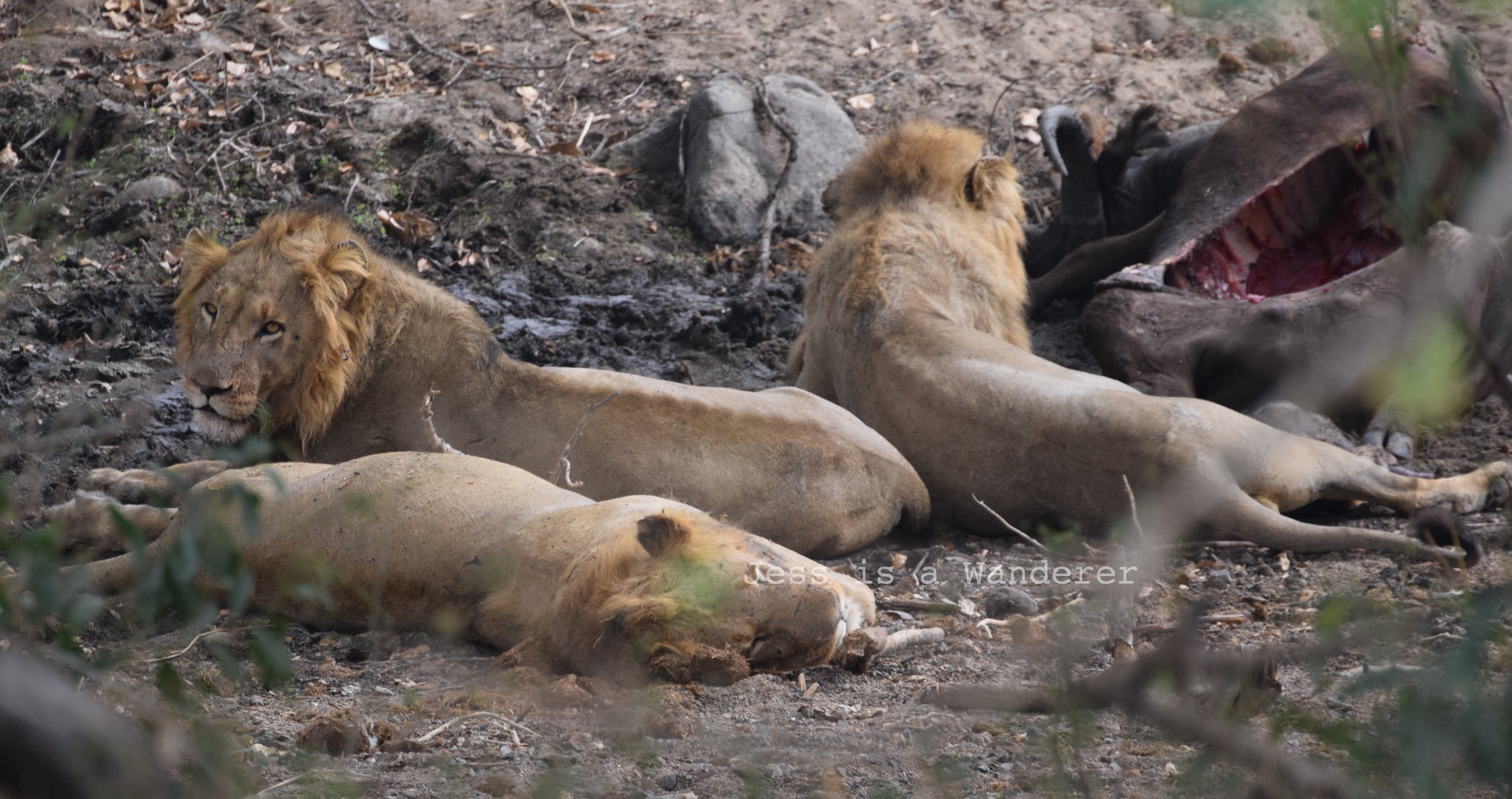 Lions After a Feed