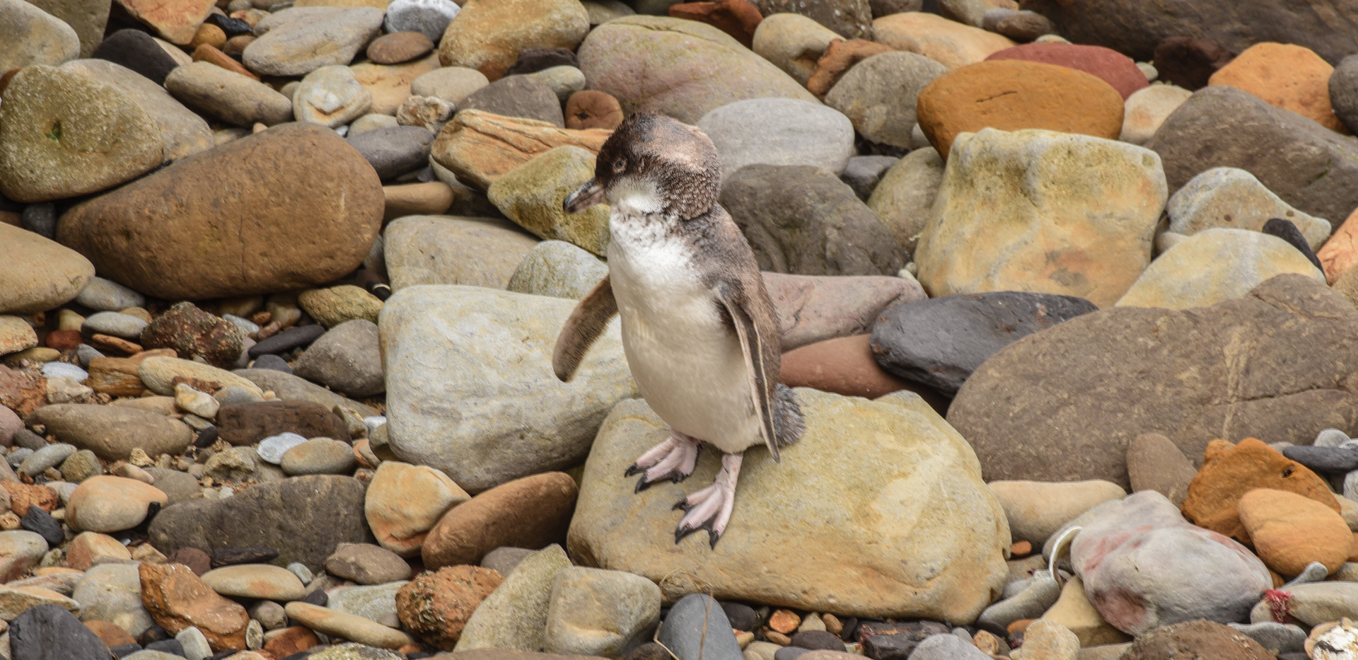 Penguin at Shag Point