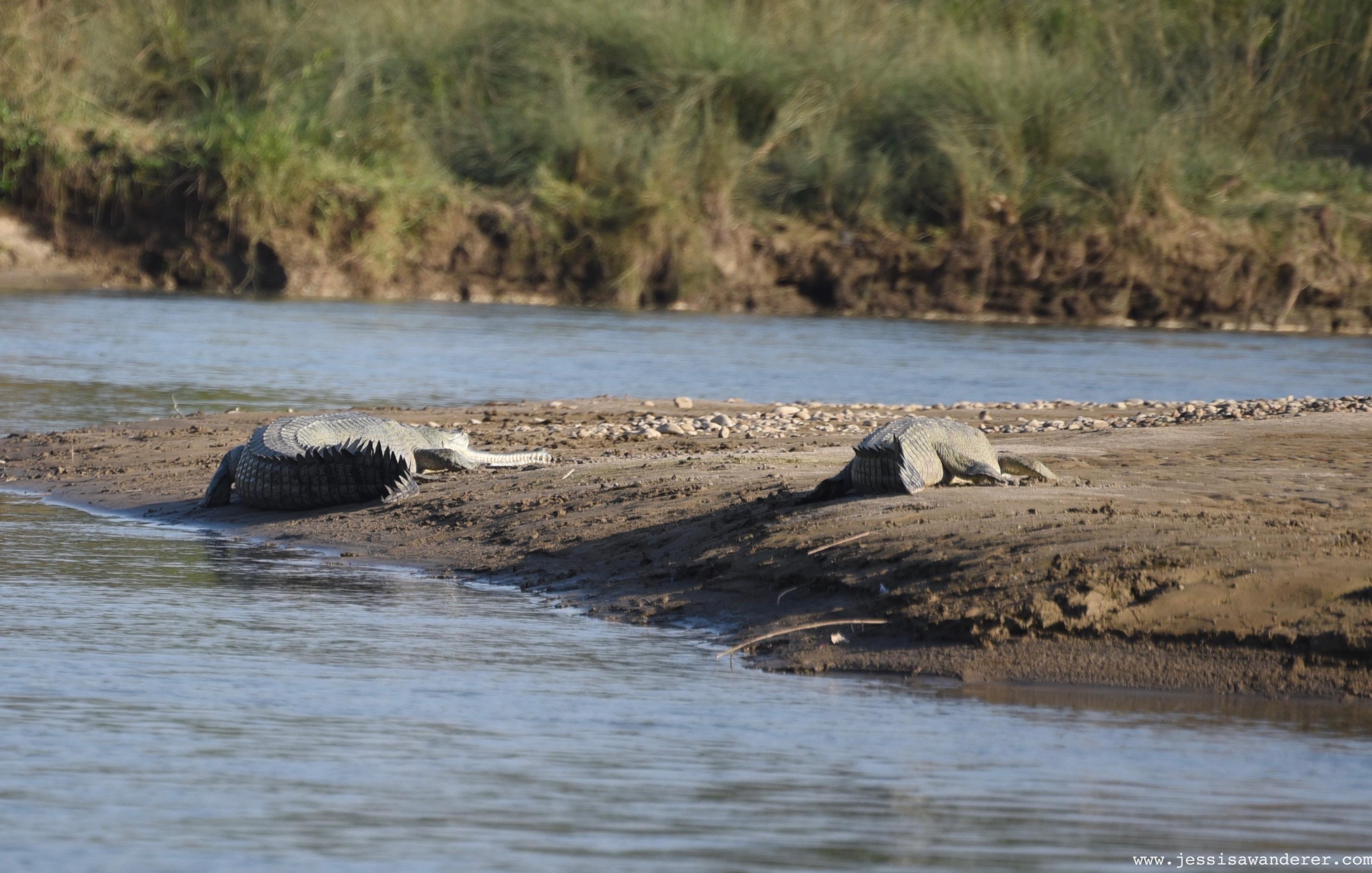 Crocs on the move