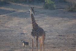 Giraffe and Baboon
