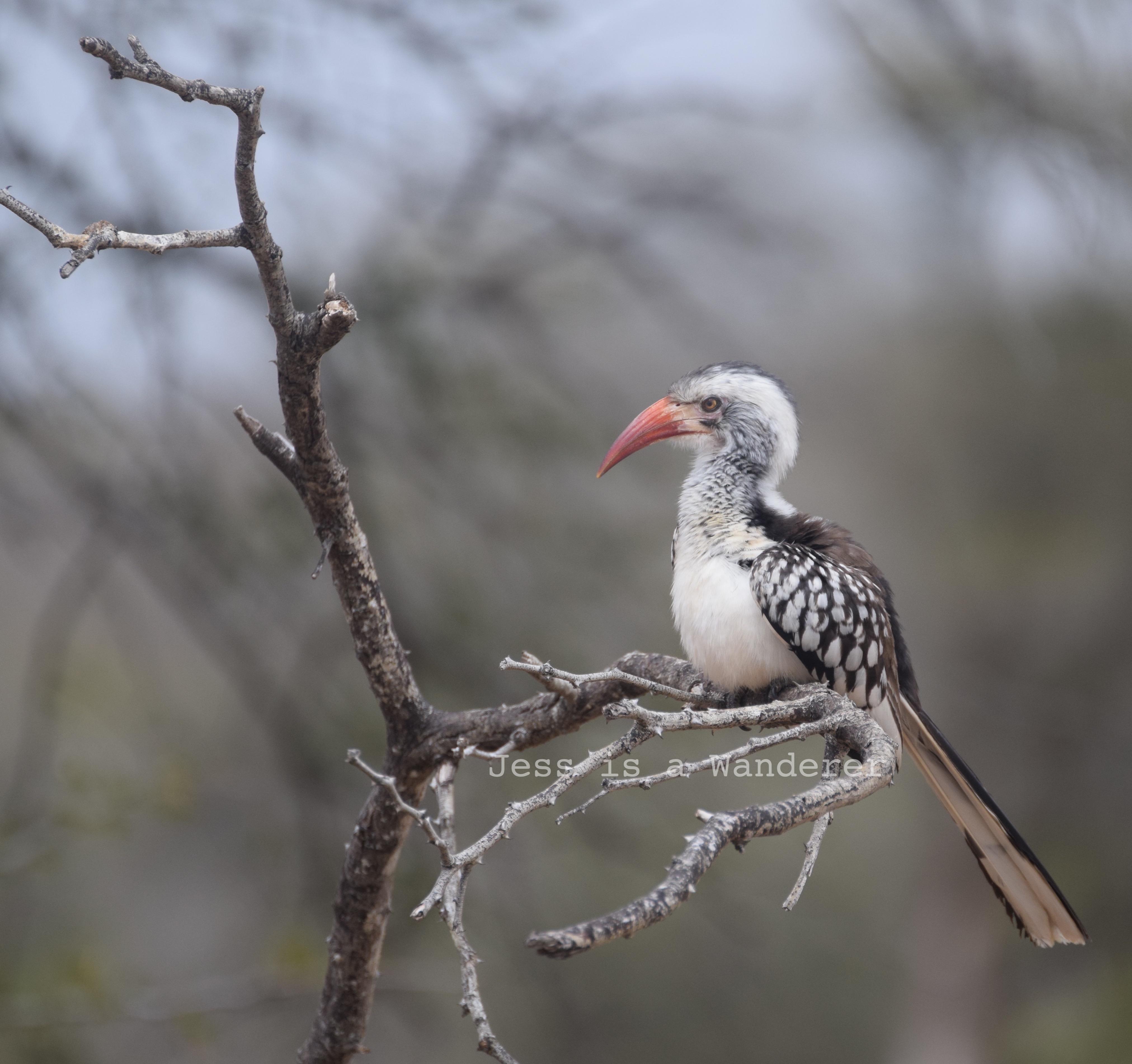 Handsome Hornbill