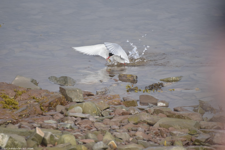 Arctic Tern Catching Fish