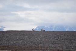 Reindeer on Horizon