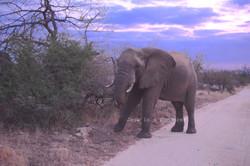 Elephant walking in the Sunrise