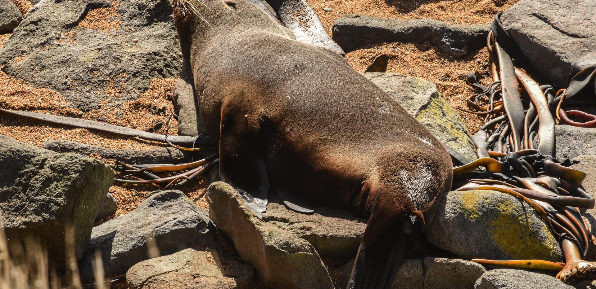 Seal on Seaweed