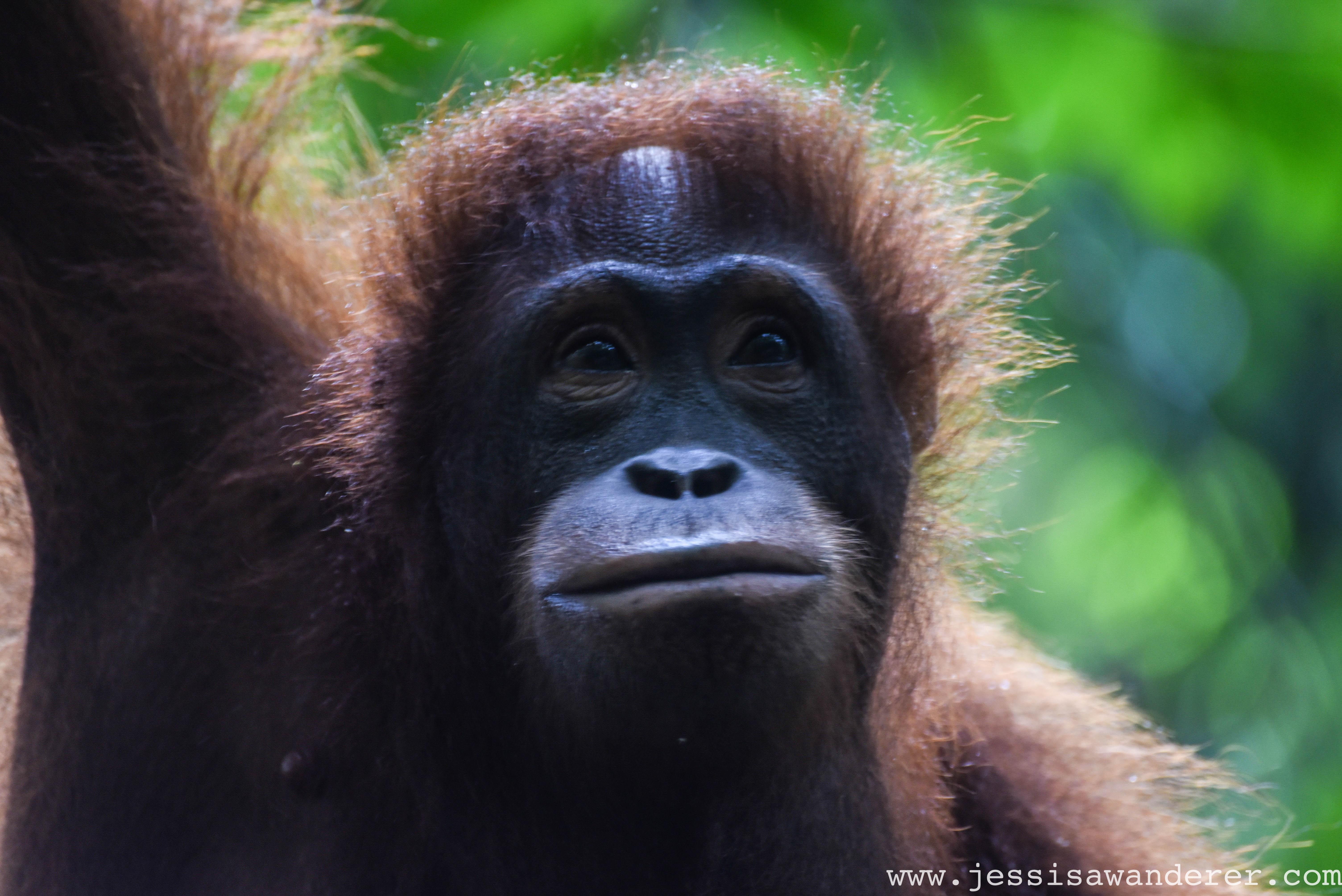 Orang-utan, Borneo