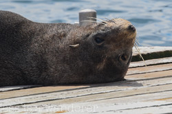 Seal in Picton